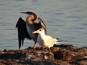 Australian Darter and Caspian Tern